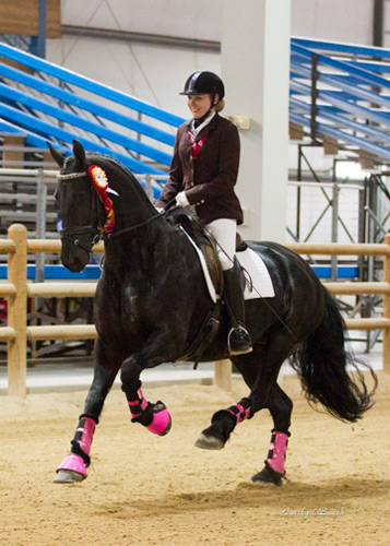 Black Friesian horse with rider